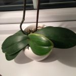 Ann's Orchid in need of repotting